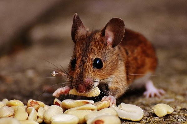 mice removal Rochester