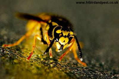 Photograph of a wasp